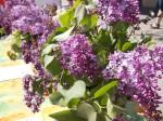 Lilac Festival Calgary